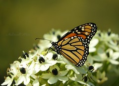 Butterfly (NaturewithMar) Tags: monarch butterfly macro 7dwf friday flora coth5