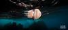 Winter Rhizostome (William Rhamey) Tags: rock water animal underwater jellyfish rhizostome nikon nauticam tokina 1017 surface