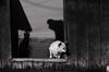 Foto- Arô Ribeiro -0987 (Arô Ribeiro) Tags: blackwhitephotos photography laphotographie pb bw blackandwhite sãopaulo dog cachorro litoral art fineart cidadedecananéia arôribeiro nikond7000 thebestofnikon nikon portrait candidportrait