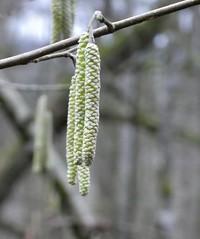 Winter versus spring (polletjes) Tags: winter voorjaar spring lente katjes takken branches bomen trees natuur nature belgie belgian ardennen macro wood