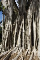 banyon tree (ucumari photography) Tags: ucumariphotography naples florida fl zoo january 2018 dsc5539