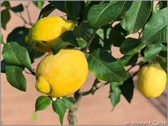 limone.zagarabianca.2@citrus.it (Rinaldofr) Tags: limone citrus zagara bianca fruit yellow leaf sphere umbone green