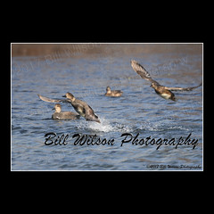 gadwalls take off (wildlifephotonj) Tags: wildlifephotographynj naturephotographynj wildlifephotography wildlife nature naturephotography wildlifephotos naturephotos natureprints birds bird duck ducks gadwall gadwalls