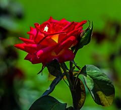 rose cv - colorama (Russell Scott Images) Tags: red yellow flowering rose hybrid cultivar victoriastaterosegarden werribeepark australia colorama russellscottimages