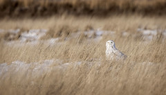 An Owl in the Grass (maryanne.pfitz) Tags: snowyowl buboscandiacus owl bird birdofprey wildlife sitting grasses buenavistagrasslands bancroft wi portagecounty mapsogd1a2787 maryannepfitzinger