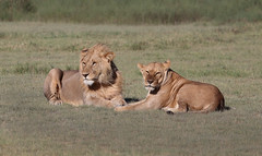 """King and Queen"" (ashockenberry) Tags: lion lioness serengeti nature naturephotography wildlife wildlifephotography national park africa"