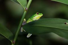 Pelodryadidae: Nyctimystes infrafrenatus infrafrenatus (White-lipped Tree Frog, Giant Tree Frog) 1 (Kristof Zyskowski and Yulia Bereshpolova) Tags: hylidae pelodryadidae nyctimystes infrafrenatus whitelippedtreefrog gianttreefrog indonesia rajaampat waigeo newguinea