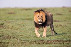 Blacky (Thomas Retterath) Tags: adventure wildlife abenteuer natur nature safari kenya africa afrika masaimara thomasretterath mähne pantheraleo lion bigfive löwe felidae raubtiere predator carnivore säugetier mammals animals tiere mane