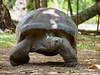 Schildkröte (AlexaLe!) Tags: seychellen schildkröte