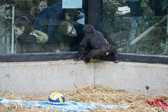 2018-02-20-11h15m57.BL7R0023 (A.J. Haverkamp) Tags: canonef100400mmf4556lisiiusmlens yanga amsterdam noordholland netherlands zoo dierentuin httpwwwartisnl artis thenetherlands gorilla dob29102016 pobhannovergermany nl
