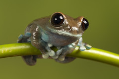 Ruby-Eyed Tree Frog, CaptiveLight, Bournemouth, Dorset, UK