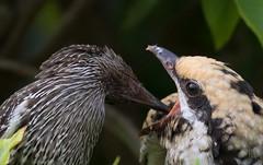 Pacific koel (Eudynamys orientalis)-9744 (rawshorty) Tags: rawshorty birds australia nsw portmacquarie