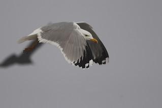 Geelpootmeeuw - Larus michahellis - Yellow-legged Gull