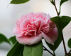 Kamelie (LuckyMeyer) Tags: flower fleur blume blüte kamelia plant makro pink rosa green botanical garden