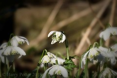 Maybe,  just one more ! (Barry Potter (EdenMedia)) Tags: barrypotter edenmedia nikon d7200 snowdrops nikonflickrtrophy