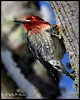 Red-breasted Sapsucker (Olympic Peninsula Photography) Tags: redbreasted sapsucker