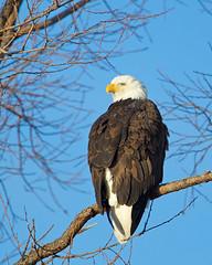 """Bald Eagle (dennis_plank_nature_photography) Tags: ca california kbnwr klamath or oregon """"klamathbasinnationalwildliferefuges"""""""