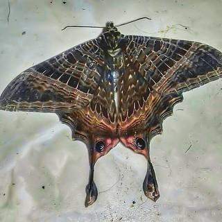 Mania (ex: Nothus; Sematura) empedocles - Mania Moth (Cramer, 1782)