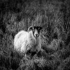 Stare (burnsmeisterj) Tags: olympus omd em1 sheep animal monochrome blackandwhite mono