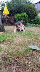 Dog eats apricot (hugovk) Tags: bretagne dog eats apricot dogeatsapricot france geo:region=brittany brittany geo:county=morbihan geo:country=france morbihan camera:model=smg950f exif:exposure=150 camera:make=samsung exif:isospeed=50 exif:flash=noflash meta:exif=1519595309 exif:orientation=rotate90cw exif:aperture=17 exif:exposurebias=0 exif:focallength=42mm hvk cameraphone samsung galaxys8 samsungs8 s8 samsunggalaxys8 samsungsmg950f hugovk smg950f summer 2017 kesä july meta:exif=1520162281