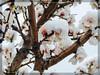 Αμυγδαλιά και ανθισμένη και χιονισμένη !!! (Spiros Tsoukias) Tags: hellas thessaloniki θεσσαλονίκη μακεδονία macedonia ελλάδα φύση δέντρα θάμνοι χιόνι ομίχλη αμυγδαλιά λουλούδια κυπαρίσσια greece nature trees shrubs snow mist almonds flowers cypress grecia natura alberi arbusti neve nebbia mandorle fiori cipressi grèce arbres arbustes neige brume amandes fleurs cyprès griechenland natur bäume sträucher schnee nebel mandeln blumen zypressen греция природа деревья кустарники снег туман миндаль цветы кипарис tree
