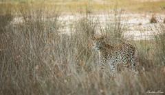 Ms Cleopatra (UpeKha Hewa) Tags: srilankanleopard leopard nationalpark nature wildlife wilpattu srilanka bigcats canon leo wild wildcats bigfive