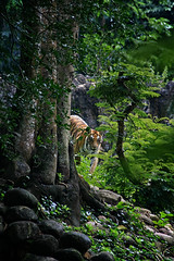 Tiger in the jungle (Ma Poupoule) Tags: inde india tiger tigre animal animaux jungle asie asia adventure arbre tree ranthambore