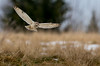Short Eared Owl (irelaia) Tags: short eared owl wild bird winter snow