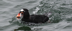 Worth the dive (wesleybarr1962) Tags: scoter surfscoter melanittaperspicillata clam