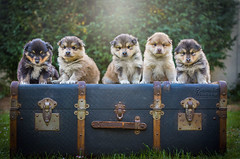 P U P P I E S (Patounes et Moustaches) Tags: chien dog pet animal pup puppy puppies cute patounesetmoustaches light green paris valise voyage travel elevage case mignon paws paw canon canoneos 7dmarkii 85mm five lapinkoira finnoisdelaponie garden parc park breed