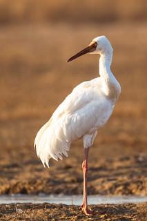 Siberian crane (Leucogeranus leucogeranus) 白鹤 bái hè