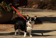 Dog Days '18, Morton Arboretum. 4 (EOS) (Mega-Magpie) Tags: canon eos 60d the morton arboretum lisle il dupage illinois usa america dog pet puppy outdoors cute