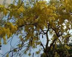 Konna (Abraham Jacob N) Tags: konnapoove konnaflower konna konnatree kerala kottayam india