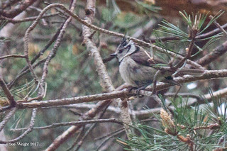 Crested Tit 20170502 1