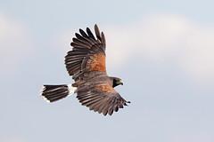 Harris Hawk (Alan Gutsell) Tags: southtexasbirds wildlife photo photography canon bird birding rio grande mexico alan harris hawk harrishawk raptor birdofprey