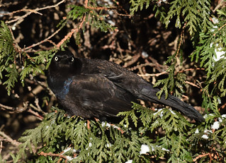 Quiscale bronzé - Common Grackle