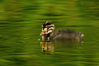 Baby Red Necked Grebe Checking Out A Pink Ladybug
