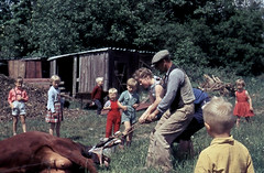 Lets go to the farm today (theirhistory) Tags: boys children kids cow calf birth infants school girl jumper field grass dungarees class form pupils students education