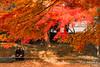 IMG_3368 (Matthew_Li) Tags: red leaf japan maple leaves