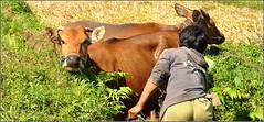private scene ! la douche (Save planet Earth !) Tags: animal vache cow indonésie bali rizière amcc nikon travel voyage