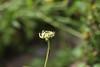 CKuchem-4483 (christine_kuchem) Tags: bauerngarten bauerngartenblume biogarten blumen blüte blüten calendula garten gemüsegarten heilpflanze mischung naturgarten nutzgarten pflanzen privatgarten ringelblumen samen samenstände sommer vielfalt bunt gelb naturnah natürlich orange