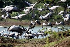 IMG_3246 Demoiselle Crane (Grus virgo) (vlupadya) Tags: greatnature aves fauna indianbirds demoiselle crane grus jamnagar gujarat