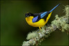 Blue-winged Mountain Tanager (Anisognathus somptuosus) (Glenn Bartley - www.glennbartley.com) Tags: andes animal animalia animals aves avian bird birdwatching birds bluewingedmountaintanageranisognathussomptuosus colombia glennbartley nature neotropical southamerica wildlife