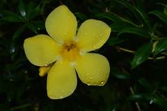 WOL Calauan Laguna Philippines Day 10 (79) (Beadmanhere) Tags: wolday11 philippines flowers