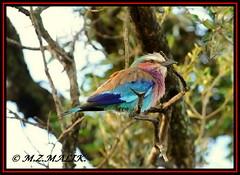 LILAC - BREASTED ROLLER (Coracias caudata).....MASAI MARA.....OCT 2012 (M Z Malik) Tags: nikon d3x 200400mm14afs kenya africa safari wildlife masaimara keekoroklodge exoticafricanwildlife exoticafricanbirds ngc