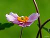 (plitch) Tags: plitchphotostream plitch flowers pink anemone