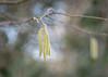 catkins (Emma Varley) Tags: catkin february westsussex bokeh breeze sunshine bluesky nature outdoor