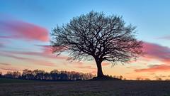 Tree (mechanicalArts) Tags: carl zeis jena prakticar 24 35mm flektogon magenta sunset tree baum winter