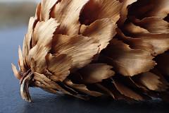 Pine cone (mickreynolds) Tags: macro monday less than an inch pine cone macromonday lesthananinch