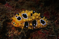 Nudibranch (kyshokada) Tags: phyllidiaocellata phyllidia nudibranch mamanuca mamanucaislands pacific fiji reef underwater seaslug animalplanet a7 sony scuba diving macro